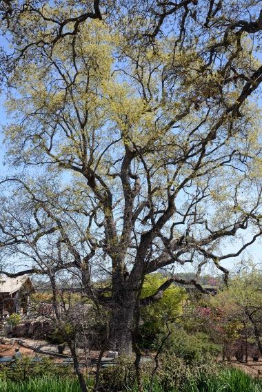 Amador County Oak