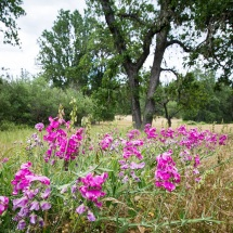 Wildflowers in Oak land