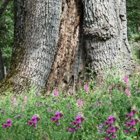 Wildflowers and Oak