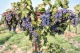 Beautiful luscious grapes