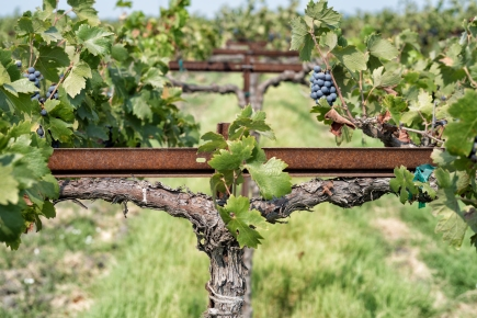 Cross to bear grapes, grapes and more grapes!