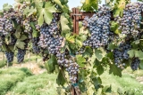 So many ripe bunches ready to become wine