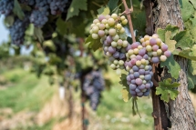 More and more beautifully colored grape bunches