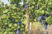 Seek and you will find luscious grapes