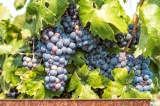 Beautiful, plump and delicious Delta grapes